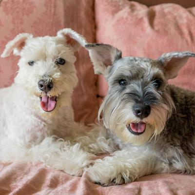 Available Miniature Schnauzer Dogs